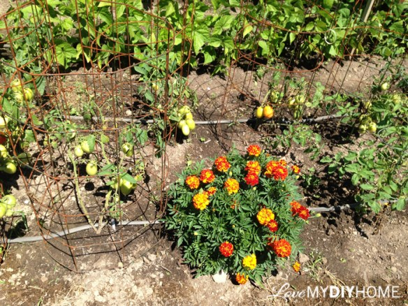 DIY Tomato Cages and Gardening Tips {Love My DIY Home}