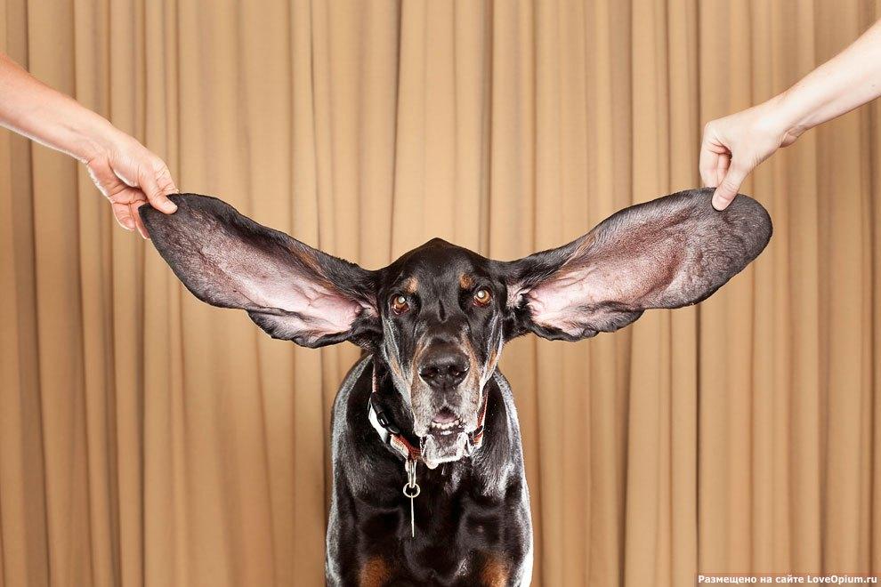 Самые большие собачьи уши