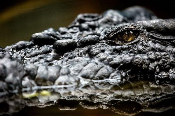 Крокодилы — древнейшие и мощнейшие хищники, появившиеся ...