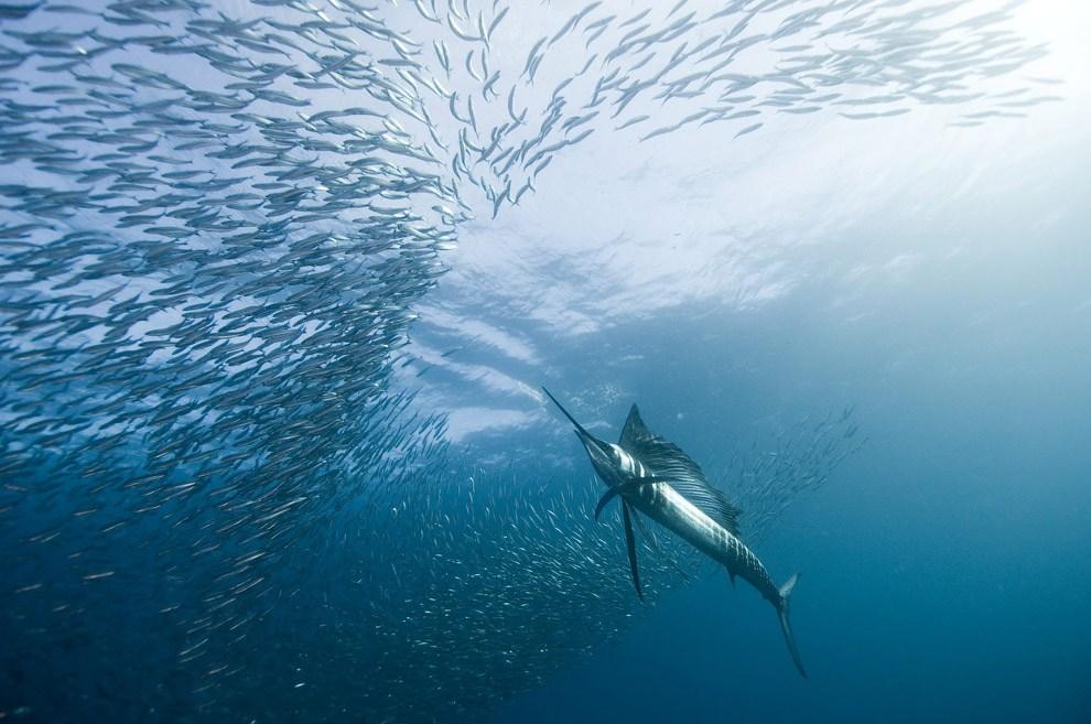 Рыба-парусник - самое быстрое водное животное