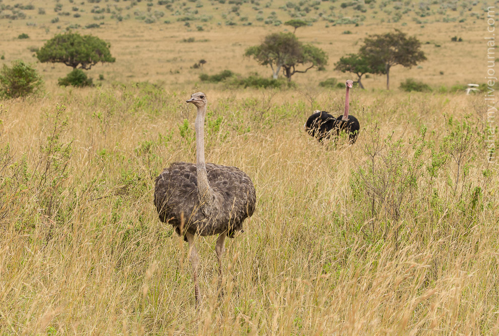 Парочка страусов