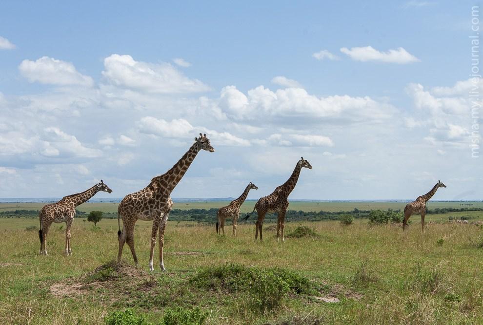Стадо жирафов: