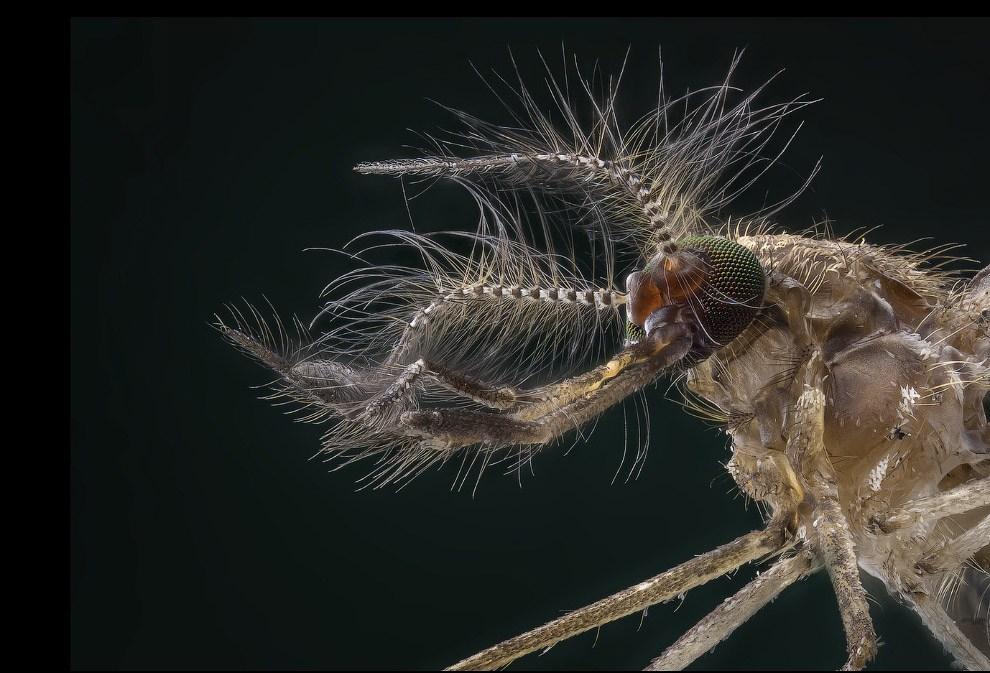 Самец комара. Не пьет.
