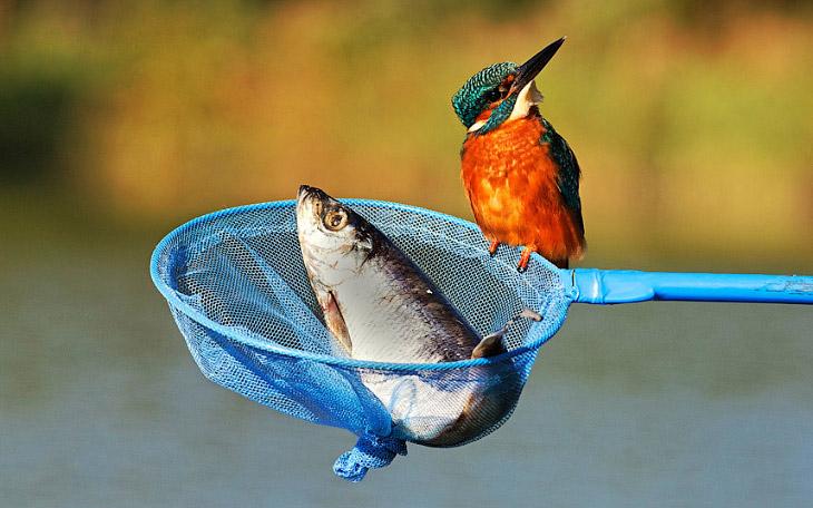 Нахальный зимородок сел на сачок рыбака
