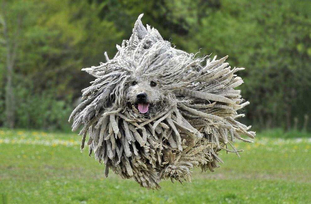 Пули — одна из самых распространённых пастушьих собак Венгрии