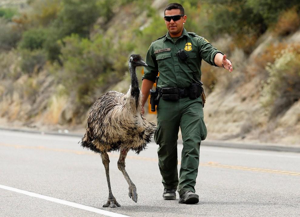 Офицер деликатно пытается прогнать эму с шоссе вблизи Потреро, Калифорния