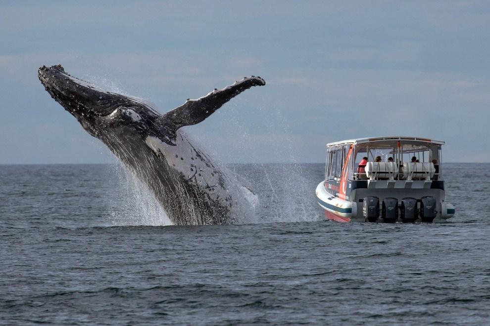 Горбатый кит у побережья Австралии