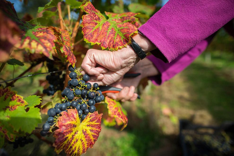 Виноград поспел. Ферма в Уэльсе