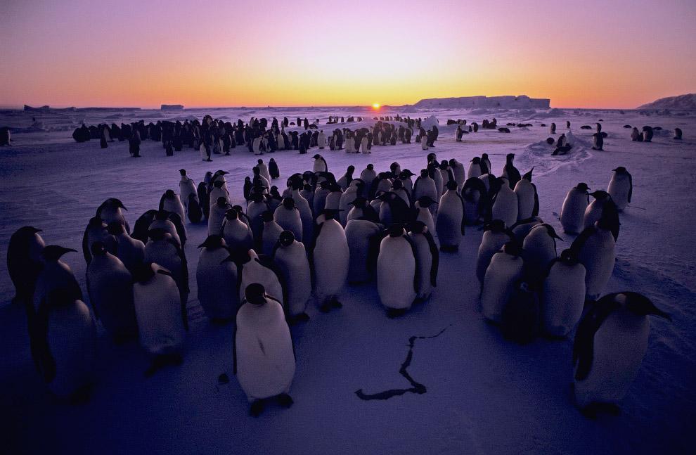 Колония императорских пингвинов