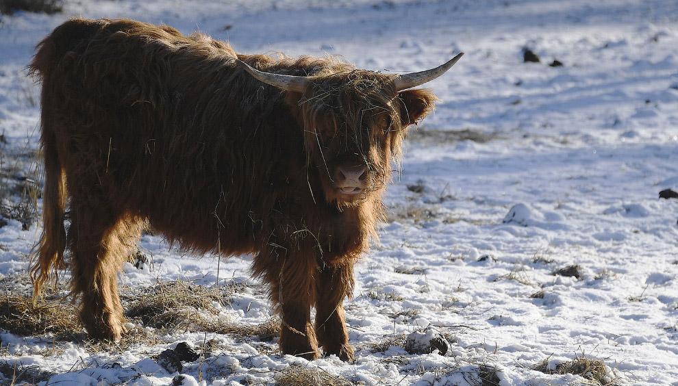Высокогорной корове зима нипочем