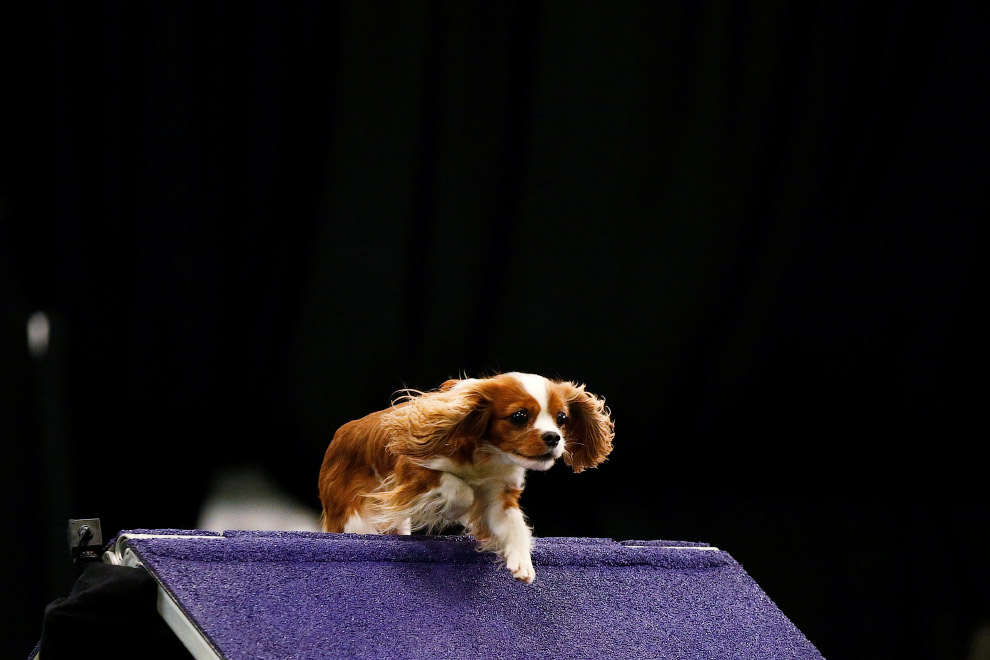 Westminster Kennel Club 2017