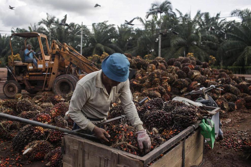 Сбор плодов масличной пальмы