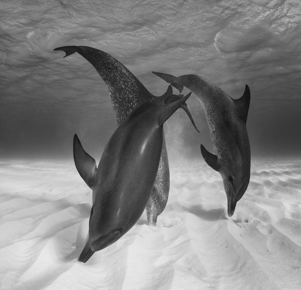 Нидерланды: охотящиеся дельфины