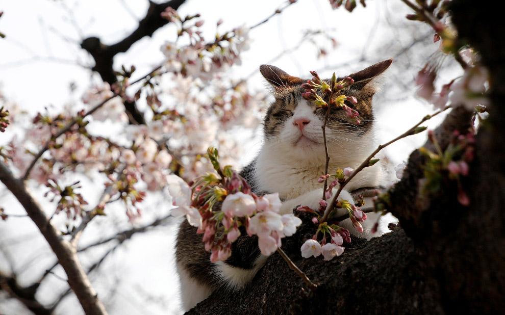 Кошка отдыхает на цветущем вишневом дереве в парке Токио