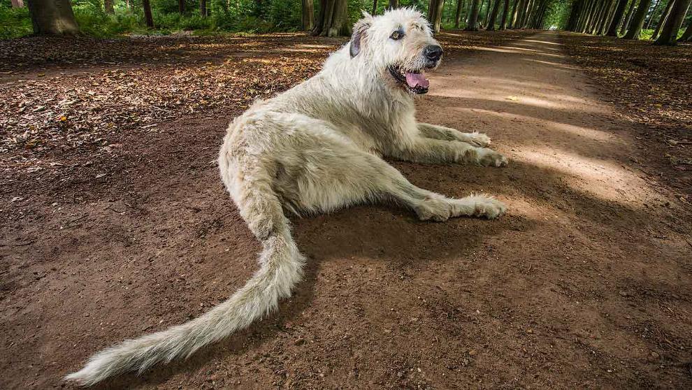 Собака с самым длинным хвостом в мире