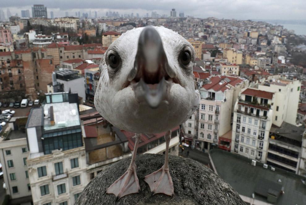 Агрессивная чайка в Стамбуле, Турция