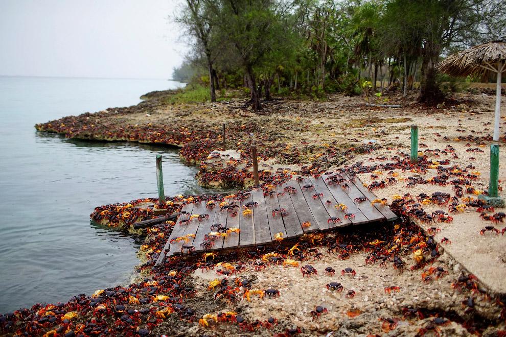 Ежегодное путешествие крабов к морю на Острове свободы