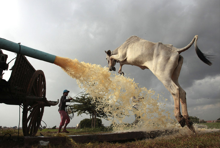 Прыгучая корова, Камбоджа
