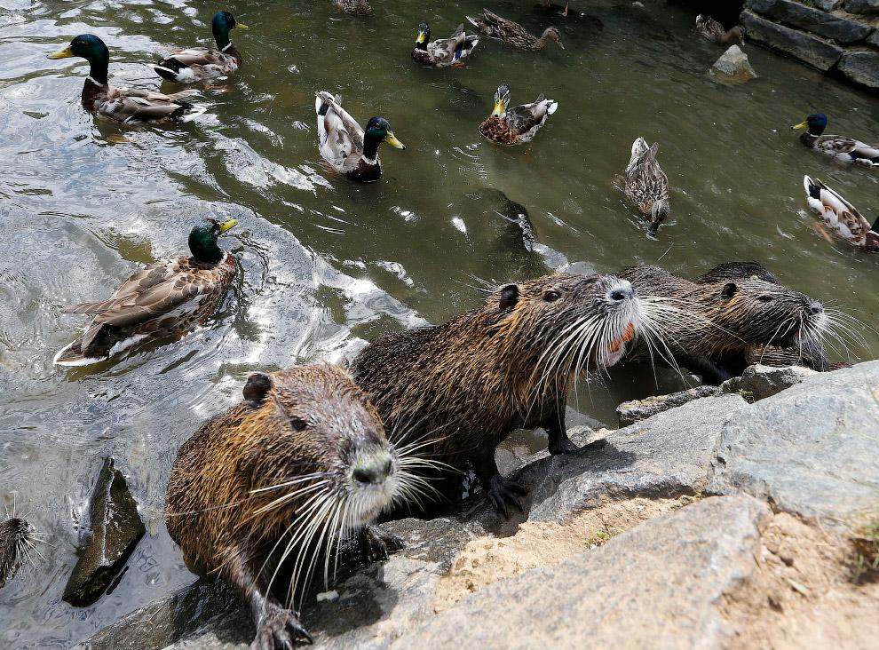 Нутрии выпрашивают еду у берега реки во Франкфурте, Германия