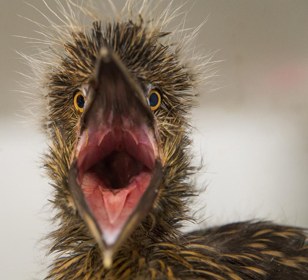 Новорожденная обыкновенная кваква, или ночная цапля познает мир