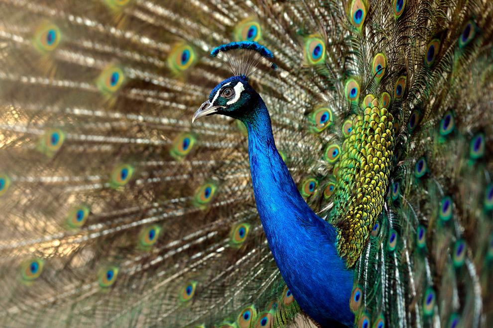 Павлин в Тбилисском зоопарке