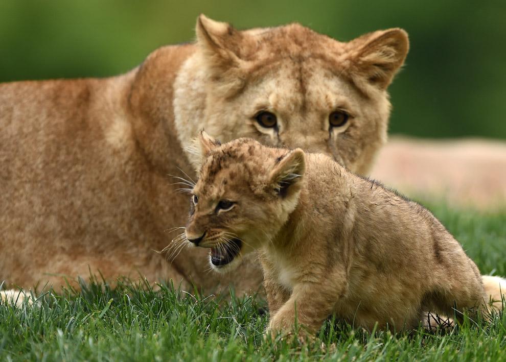 Новорожденный царь зверей уже показывает свои хищнические повадки