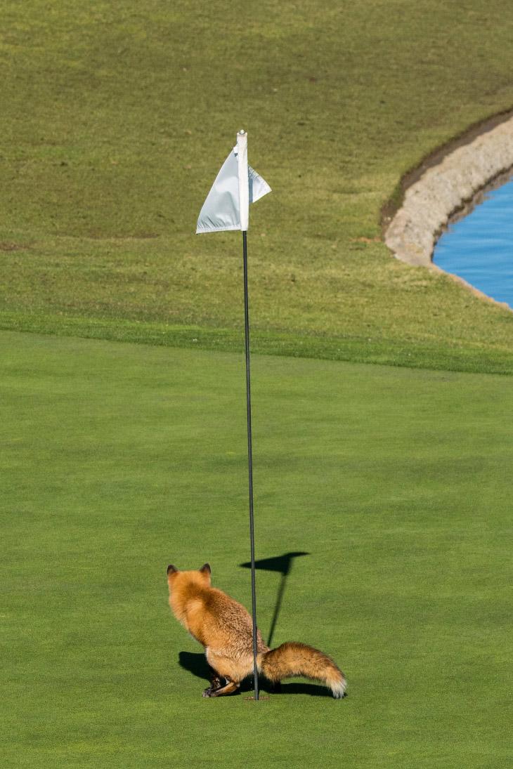 Вот вам всем. Лиса на поле для гольф в Калифорнии