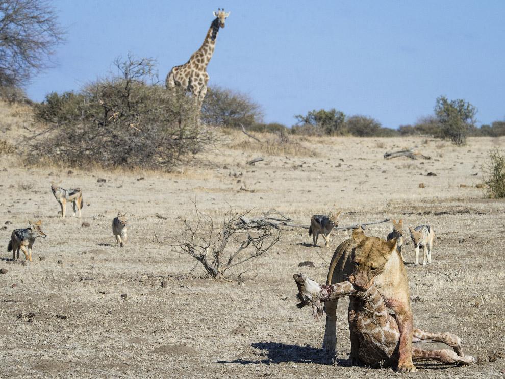 Львица и жирафы