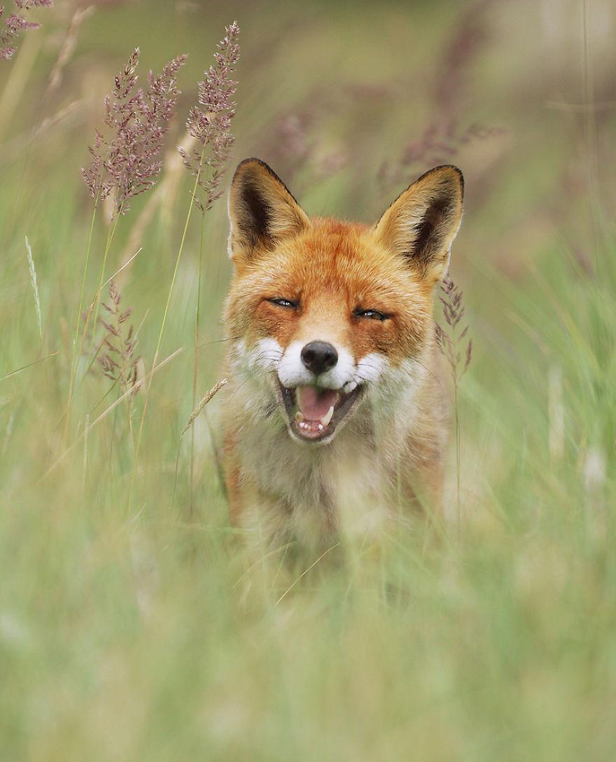Счастливая лиса
