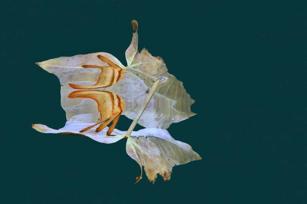 Листы и рыбки, которые их используют, чтобы прятаться от хищников