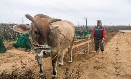 澎湖では牛もまだまだ現役で働いています!