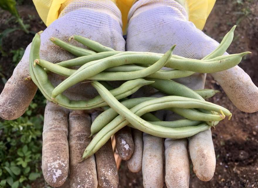 澎湖(ポンフー)の畑で初収穫!