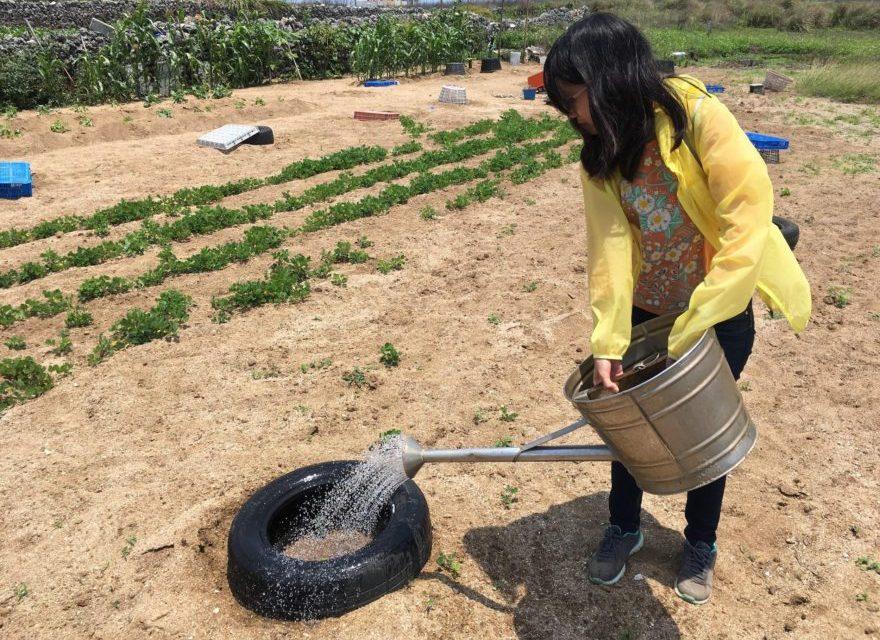 澎湖(ポンフー)名物「花生」の収穫も間近か?