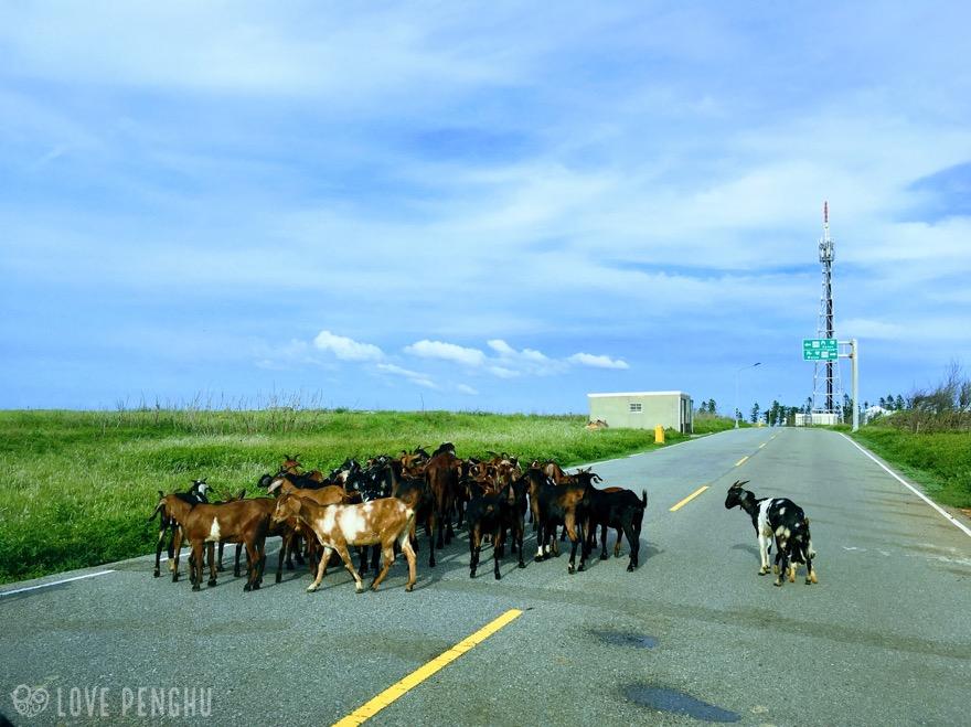 澎湖(ポンフー)には放牧されているヤギがいるので注意が必要だ