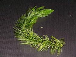 Hornwort Ceratophyllum demersum