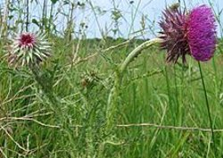 Nodding thistle Carduus nutans