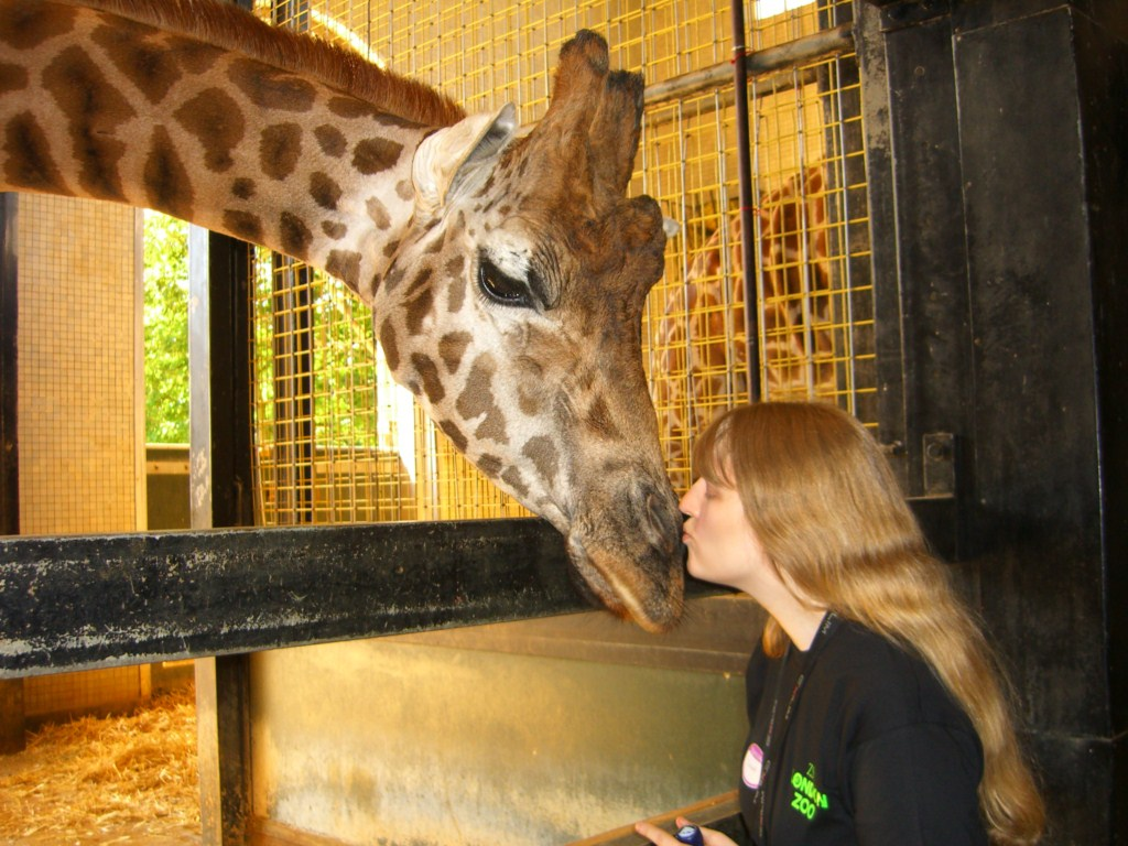 London Zoo keeper for the day me and a giraffe the kiss