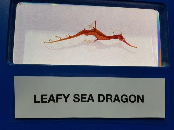 Sea Creatures leafy sea dragon