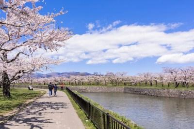 五稜郭公園の満開の桜