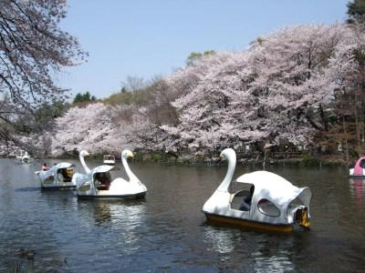 桜が咲く春の井の頭恩賜公園