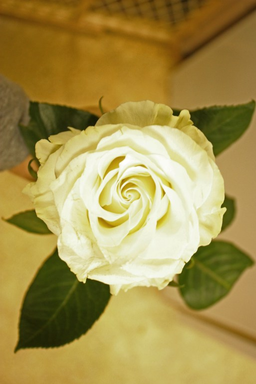 mondial-rose-2