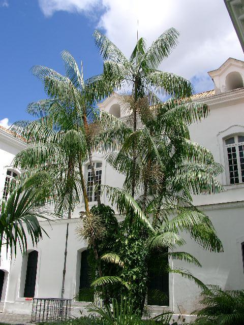 Açaizeiro_no_palácio
