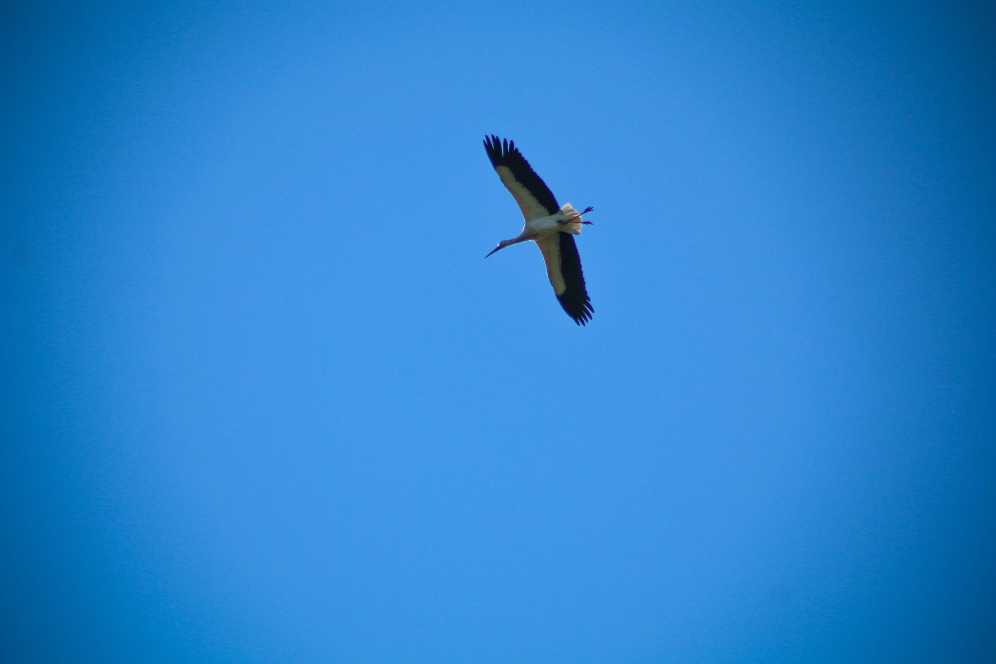 Ik zei al dat er ooievaars vliegen, maar ik vond ze maar niet. Totdat ik naar huis liep en er een aantal boven mijn hoofd vlogen