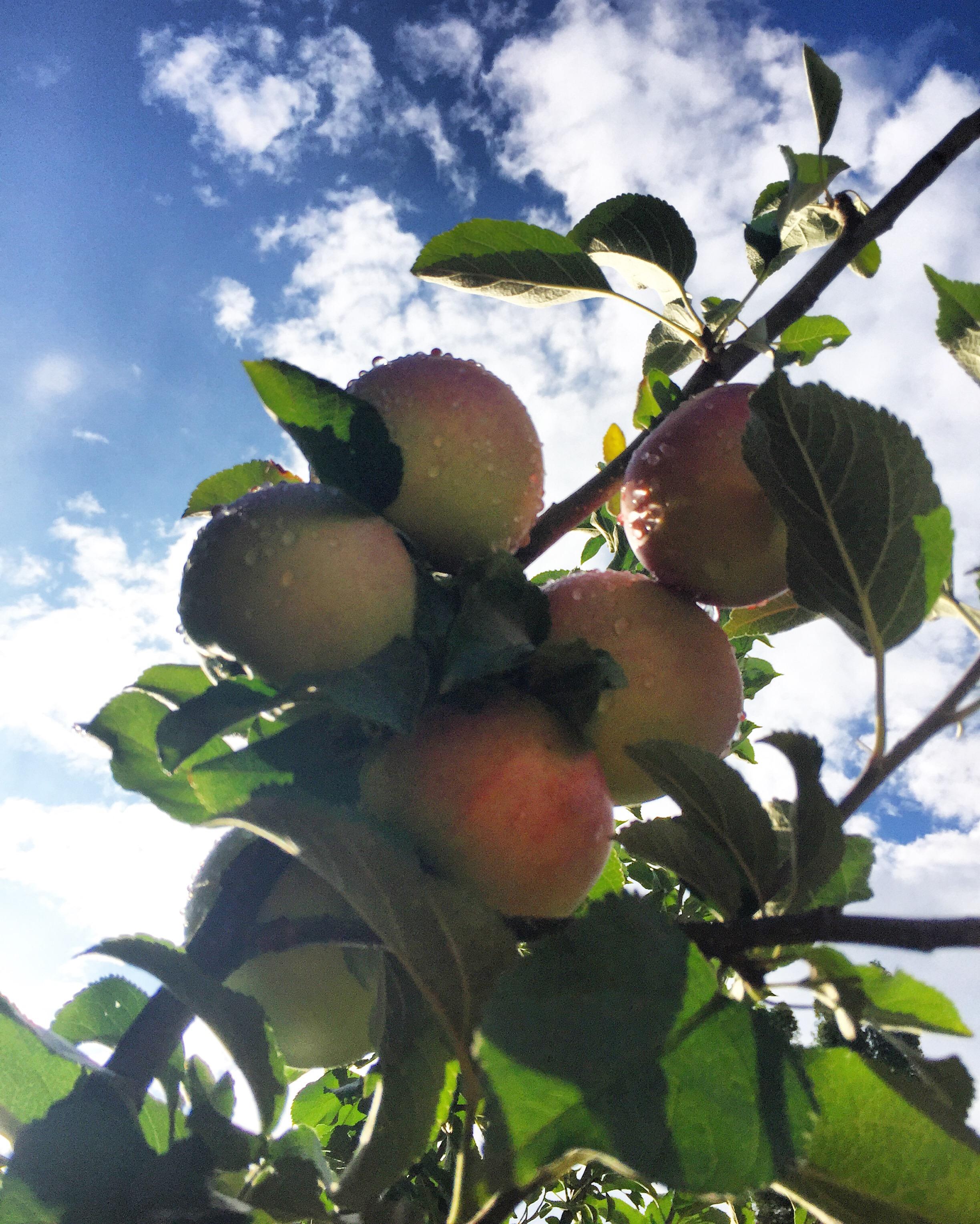 De appels van onze boom zijn rijp
