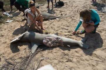 Studying a shark caught on the longlines eaten by another shark