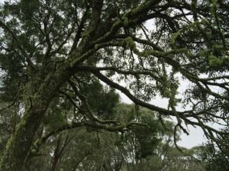 lichen covered tree