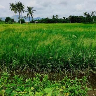 rice paddy balasan