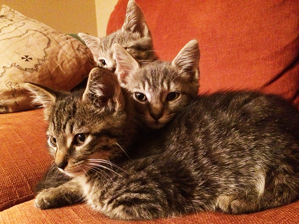 A trio of young foster kittens cuddle together in their new foster home.