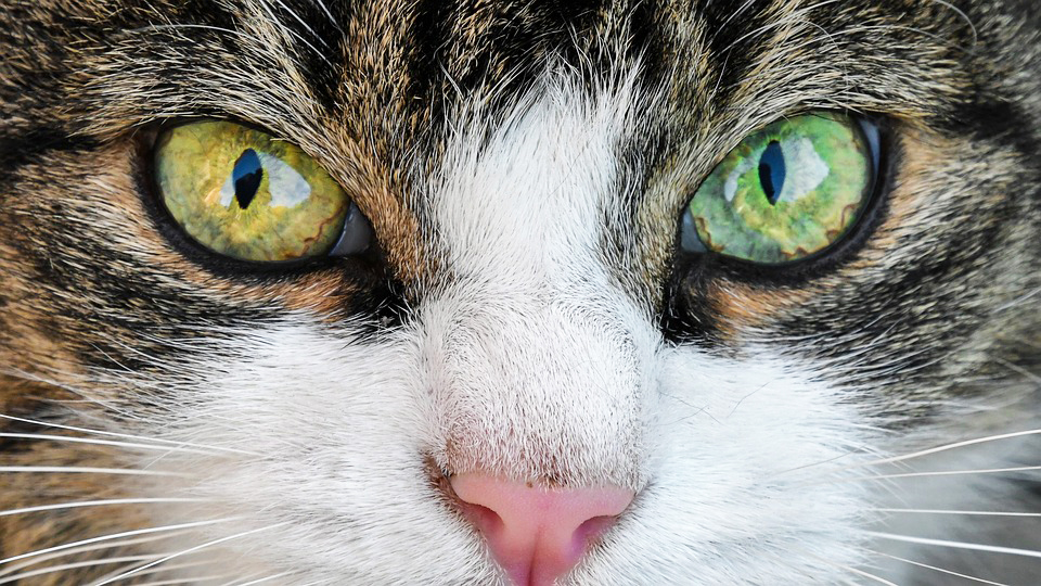 A closeup on the eyes and nose of an odd-eyed tabby cat with a white nose and one yellow eye and one green eye.