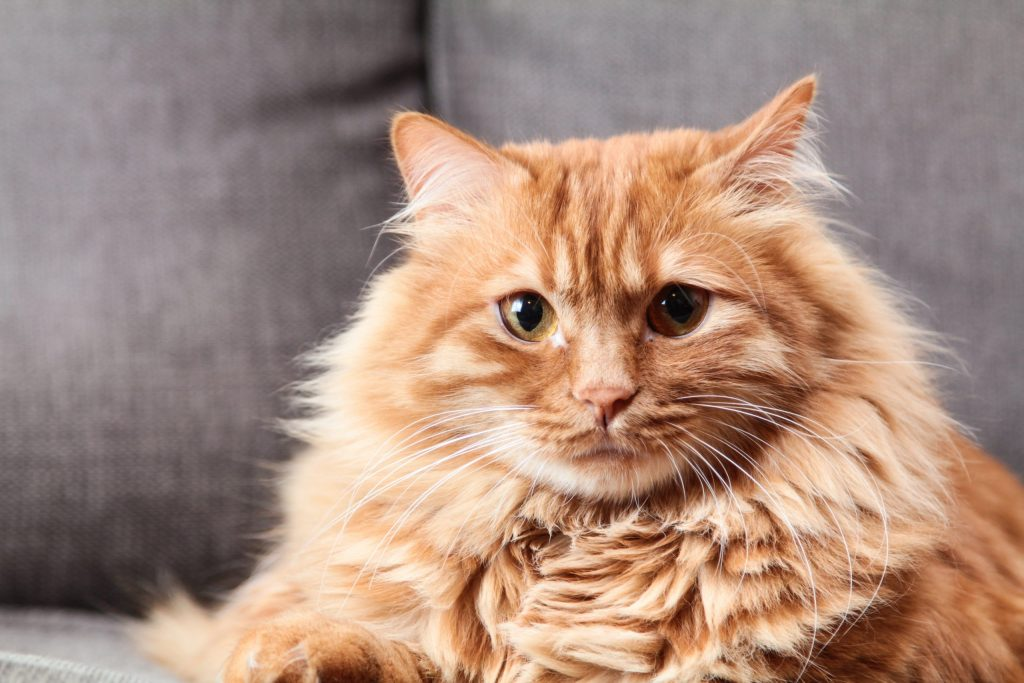 A beautiful photograph of a stunning long-haired orange cat.